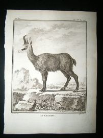 Buffon: C1770 Chamois, Antique Print